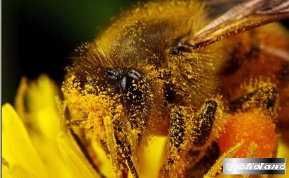 Пыльца → лечение пчелиной пыльцой