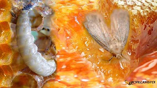 Супер настойка личинок восковой моли 20% (экстракт).