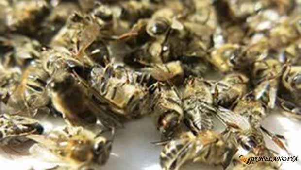Как похудеть с помощью подмора пчел